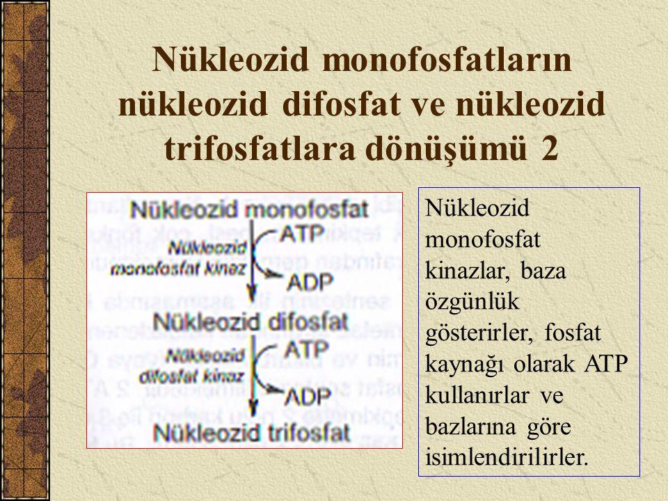 Nükleozid monofosfatların nükleozid difosfat ve nükleozid trifosfatlara dönüşümü 2 Nükleozid monofosfat kinazlar, baza özgünlük gösterirler, fosfat ka