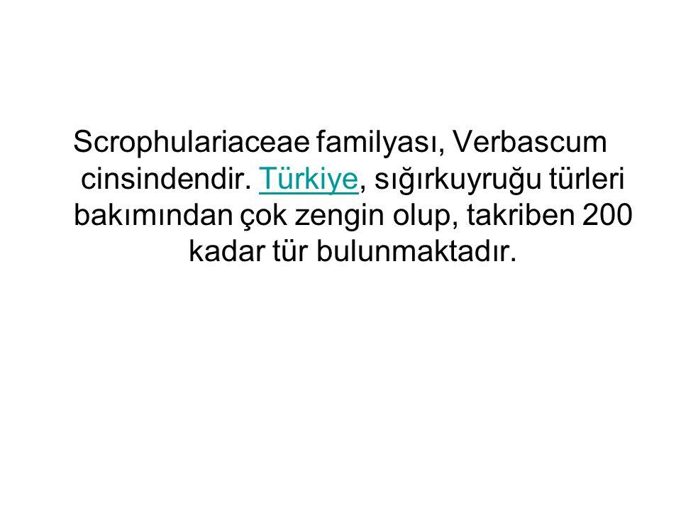 Scrophulariaceae familyası, Verbascum cinsindendir. Türkiye, sığırkuyruğu türleri bakımından çok zengin olup, takriben 200 kadar tür bulunmaktadır.Tür