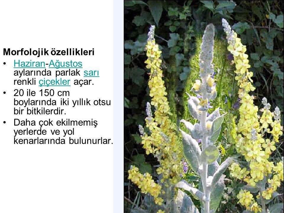 Morfolojik özellikleri Haziran-Ağustos aylarında parlak sarı renkli çiçekler açar.HaziranAğustossarıçiçekler 20 ile 150 cm boylarında iki yıllık otsu