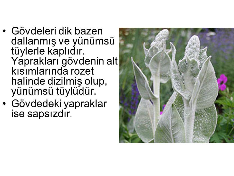 Gövdeleri dik bazen dallanmış ve yünümsü tüylerle kaplıdır. Yaprakları gövdenin alt kısımlarında rozet halinde dizilmiş olup, yünümsü tüylüdür. Gövded