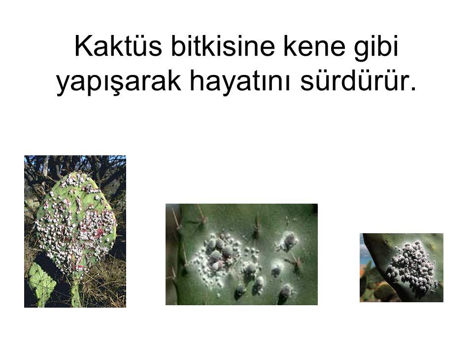 Bir Cochineal böceği tarlası