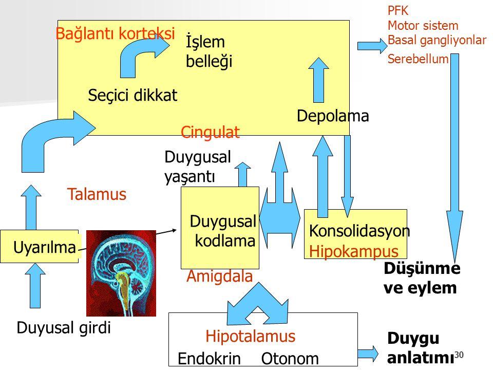 30 Düşünme ve eylem PFK Motor sistem Basal gangliyonlar Serebellum Duyusal girdi Uyarılma Seçici dikkat İşlem belleği Bağlantı korteksi Depolama Duygusal kodlama Cingulat Duygusal yaşantı Amigdala Duygu anlatımı Endokrin Otonom Hipotalamus Hipokampus Konsolidasyon Talamus