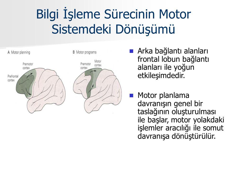 Bilgi İşleme Sürecinin Motor Sistemdeki Dönüşümü Arka bağlantı alanları frontal lobun bağlantı alanları ile yoğun etkileşimdedir. Motor planlama davra