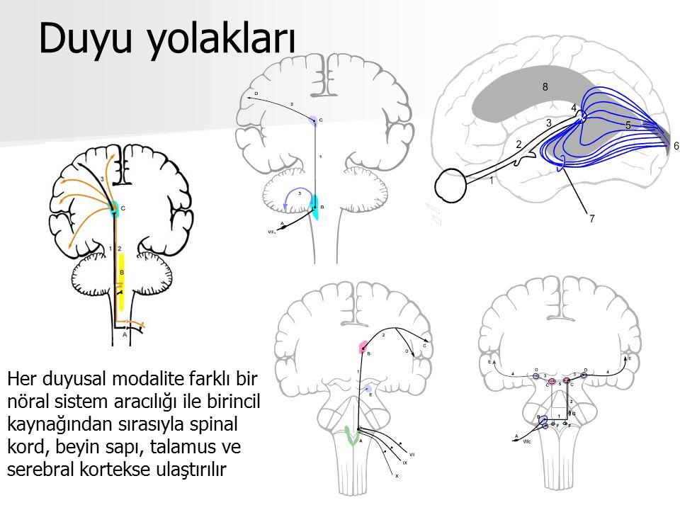 Duyu yolakları Her duyusal modalite farklı bir nöral sistem aracılığı ile birincil kaynağından sırasıyla spinal kord, beyin sapı, talamus ve serebral kortekse ulaştırılır