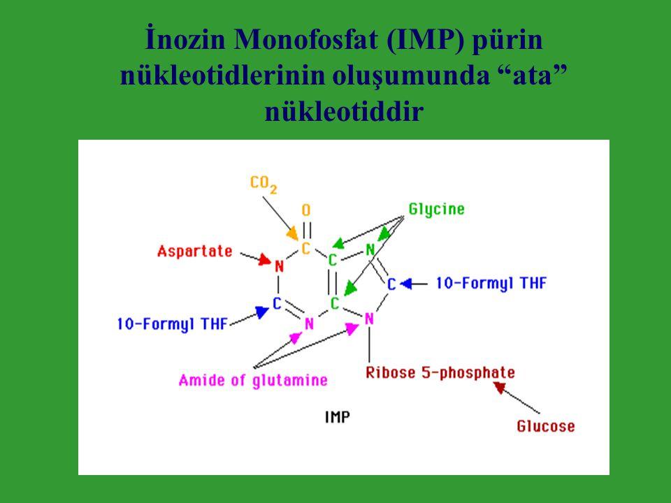 """İnozin Monofosfat (IMP) pürin nükleotidlerinin oluşumunda """"ata"""" nükleotiddir"""