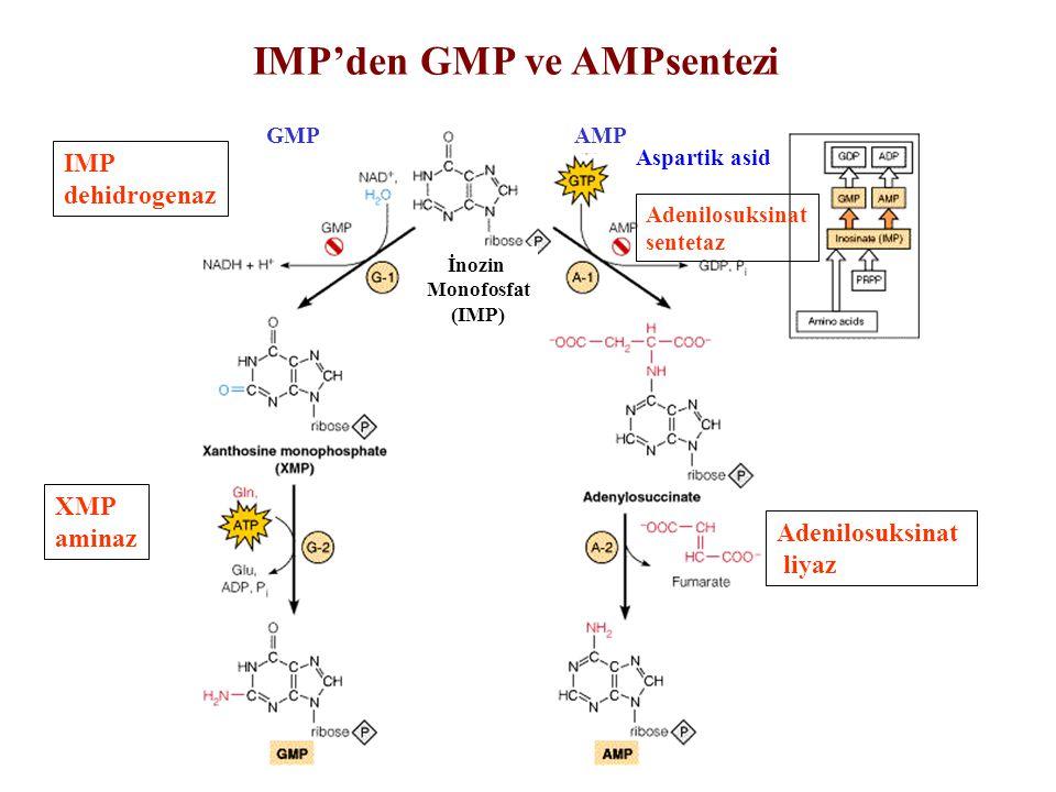 Adenilosuksinat sentetaz Adenilosuksinat liyaz IMP dehidrogenaz XMP aminaz İnozin Monofosfat (IMP) AMPGMP IMP'den GMP ve AMPsentezi Aspartik asid