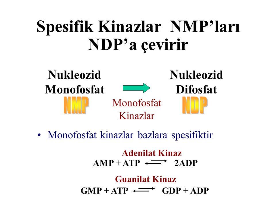 Spesifik Kinazlar NMP'ları NDP'a çevirir Nukleozid Monofosfat Nukleozid Difosfat Monofosfat Kinazlar Monofosfat kinazlar bazlara spesifiktir AMP + ATP