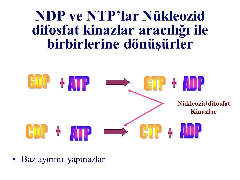 NDP ve NTP'lar Nükleozid difosfat kinazlar aracılığı ile birbirlerine dönüşürler Nükleozid difosfat Kinazlar Baz ayırımı yapmazlar