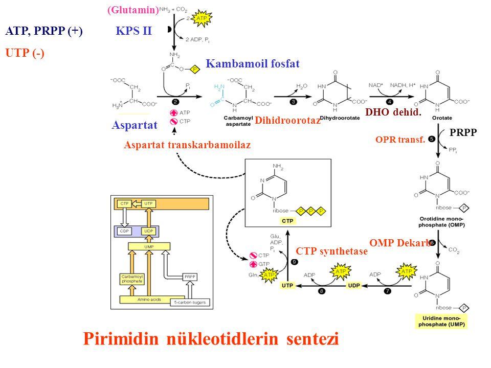 Aspartat Kambamoil fosfat PRPP CTP synthetase Aspartat transkarbamoilaz (Glutamin) Dihidroorotaz DHO dehid. OPR transf. OMP Dekarb Pirimidin nükleotid