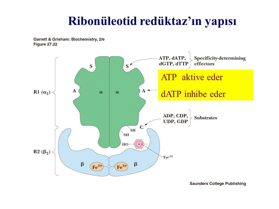 Ribonüleotid redüktaz'ın yapısı ATP aktive eder dATP inhibe eder