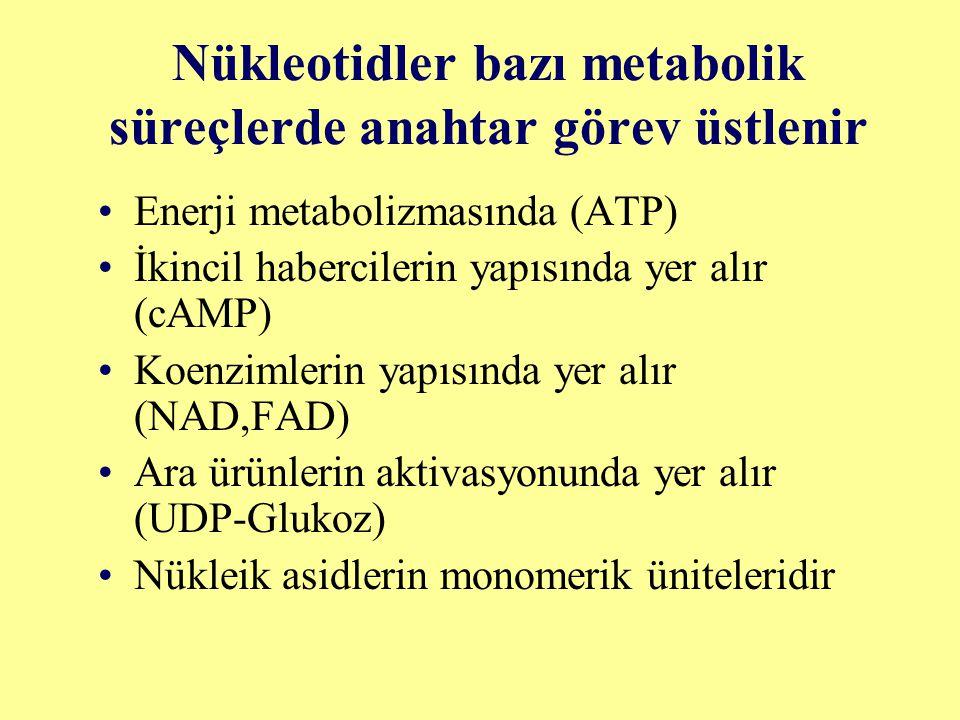 Nükleotidler bazı metabolik süreçlerde anahtar görev üstlenir Enerji metabolizmasında (ATP) İkincil habercilerin yapısında yer alır (cAMP) Koenzimleri