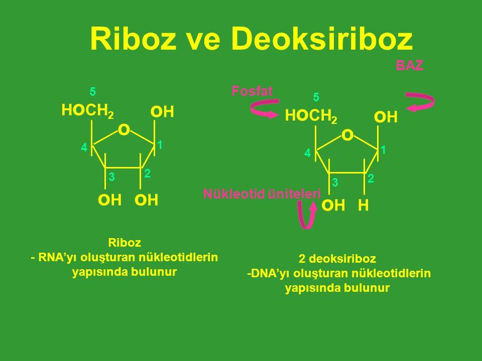 Riboz ve Deoksiriboz oHoH oHoH oHoH H o CH 2 o 1 2 3 4 5 Riboz - RNA'yı oluşturan nükleotidlerin yapısında bulunur H oHoH oHoH H o CH 2 o 1 2 3 4 5 2