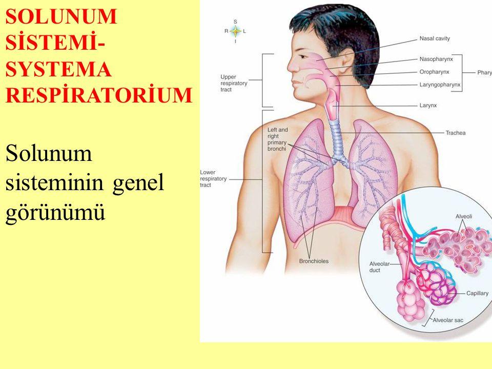 SOLUNUM SİSTEMİ- SYSTEMA RESPİRATORİUM Solunum sisteminin genel görünümü