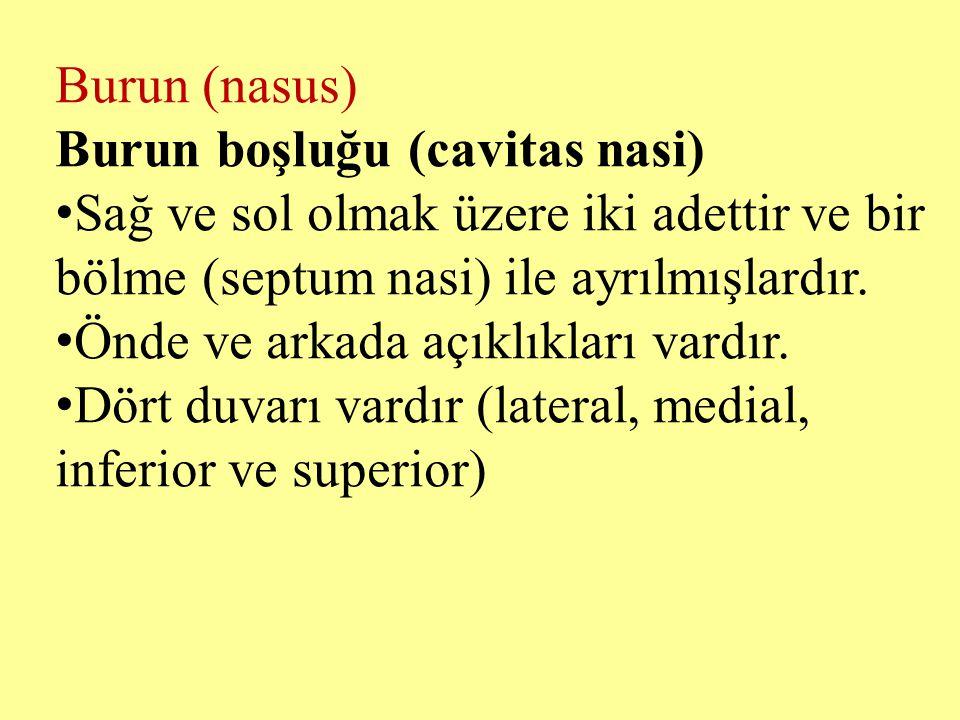 Burun (nasus) Burun boşluğu (cavitas nasi) Sağ ve sol olmak üzere iki adettir ve bir bölme (septum nasi) ile ayrılmışlardır. Önde ve arkada açıklıklar