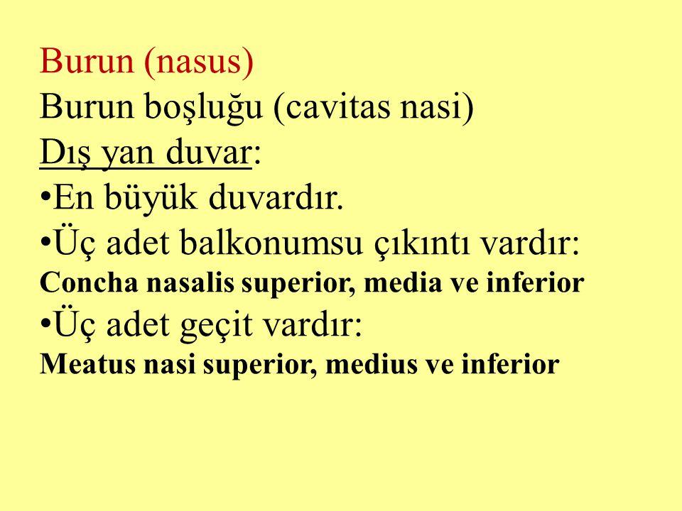 Burun (nasus) Burun boşluğu (cavitas nasi) Dış yan duvar: En büyük duvardır. Üç adet balkonumsu çıkıntı vardır: Concha nasalis superior, media ve infe