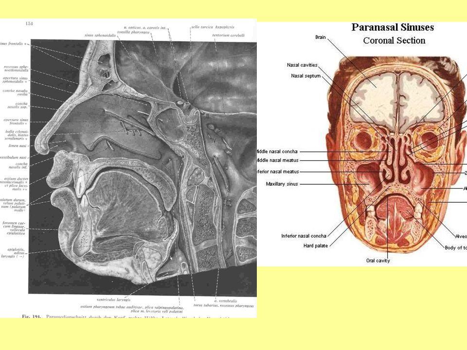 Burun orta bölmesini(septum nasi) oluşturan kemik parçalarını yazınız Arka kısmını ethmoid ve vomer kemikleri yapar.