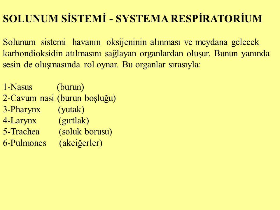 SOLUNUM SİSTEMİ - SYSTEMA RESPİRATORİUM Solunum sistemi havanın oksijeninin alınması ve meydana gelecek karbondioksidin atılmasını sağlayan organlarda
