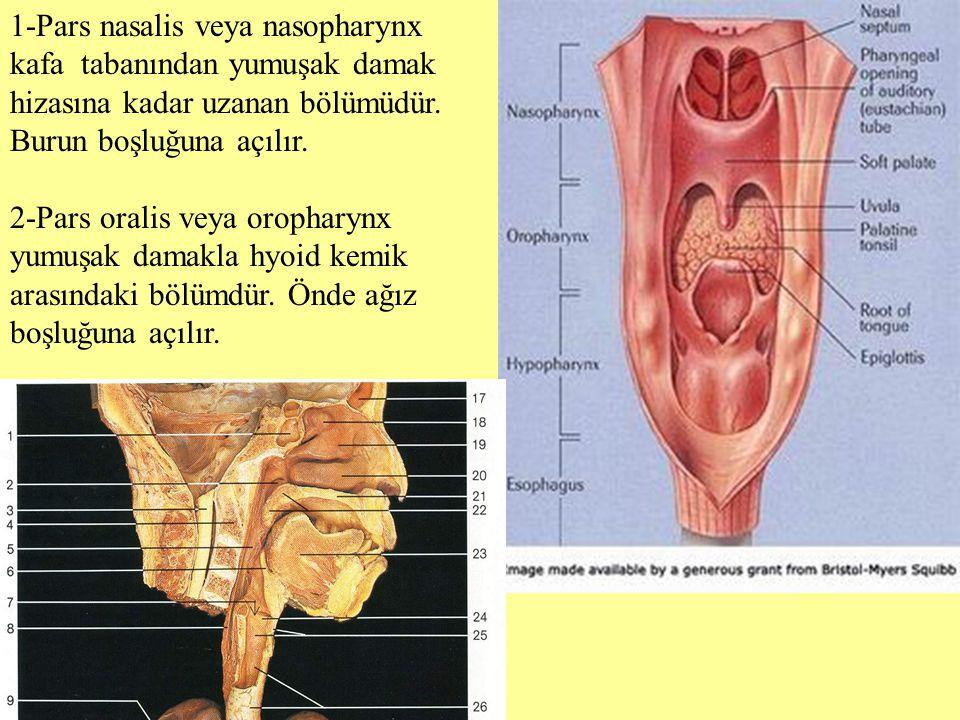 1-Pars nasalis veya nasopharynx kafa tabanından yumuşak damak hizasına kadar uzanan bölümüdür. Burun boşluğuna açılır. 2-Pars oralis veya oropharynx y