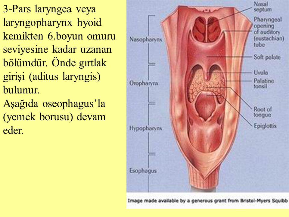 3-Pars laryngea veya laryngopharynx hyoid kemikten 6.boyun omuru seviyesine kadar uzanan bölümdür. Önde gırtlak girişi (aditus laryngis) bulunur. Aşağ