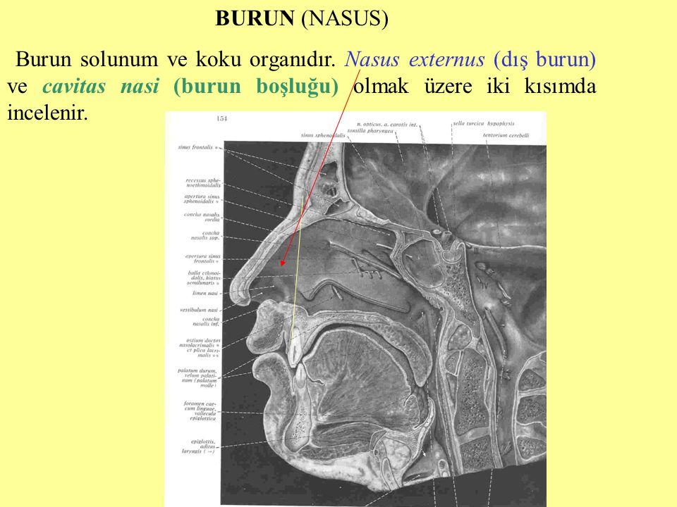BURUN (NASUS) Burun solunum ve koku organıdır. Nasus externus (dış burun) ve cavitas nasi (burun boşluğu) olmak üzere iki kısımda incelenir.