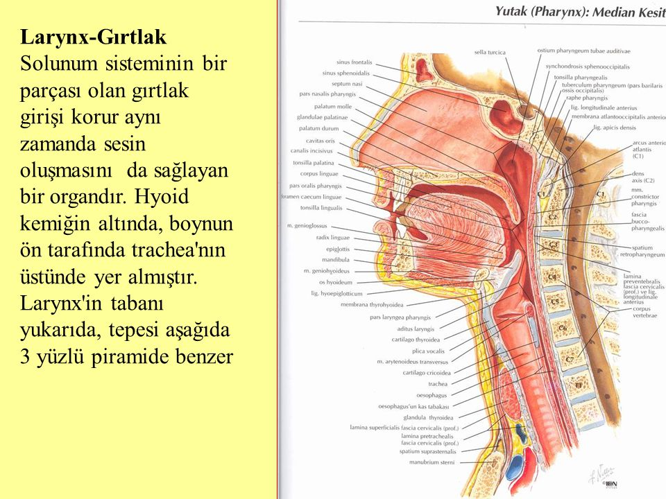 Larynx-Gırtlak Solunum sisteminin bir parçası olan gırtlak girişi korur aynı zamanda sesin oluşmasını da sağlayan bir organdır. Hyoid kemiğin altında,