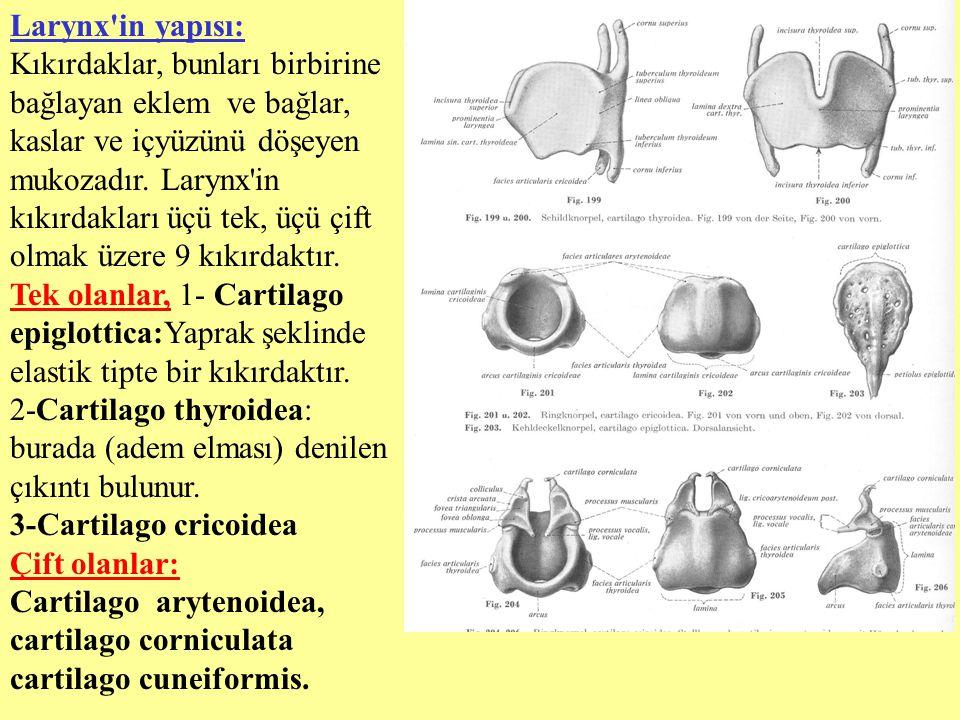 Larynx'in yapısı: Kıkırdaklar, bunları birbirine bağlayan eklem ve bağlar, kaslar ve içyüzünü döşeyen mukozadır. Larynx'in kıkırdakları üçü tek, üçü ç