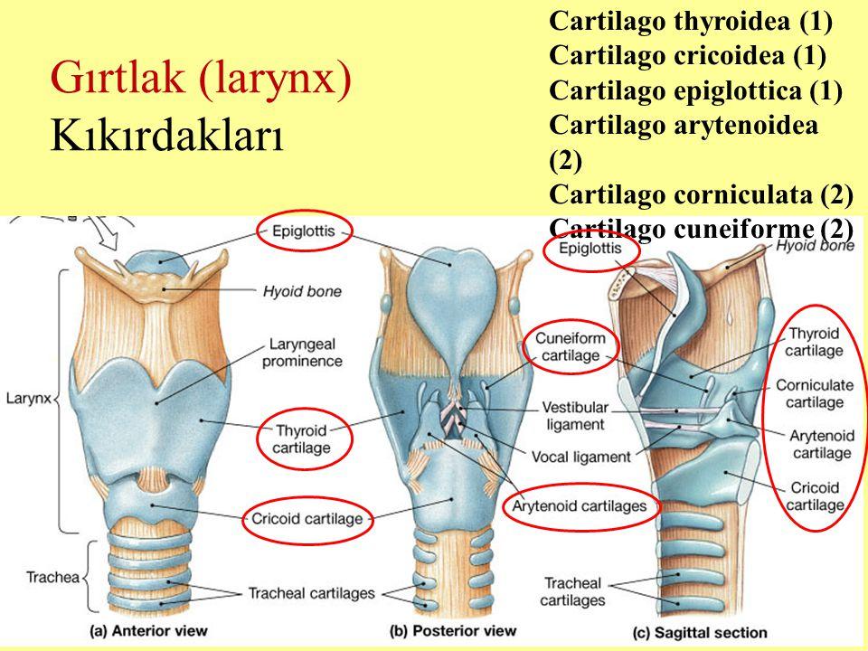 Gırtlak (larynx) Kıkırdakları Cartilago thyroidea (1) Cartilago cricoidea (1) Cartilago epiglottica (1) Cartilago arytenoidea (2) Cartilago corniculat
