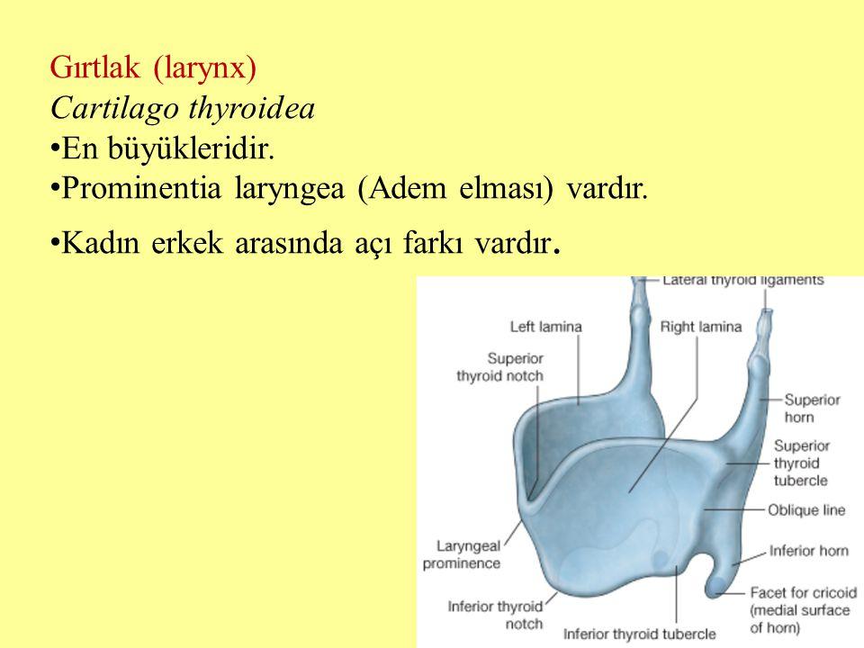 Gırtlak (larynx) Cartilago thyroidea En büyükleridir. Prominentia laryngea (Adem elması) vardır. Kadın erkek arasında açı farkı vardır.