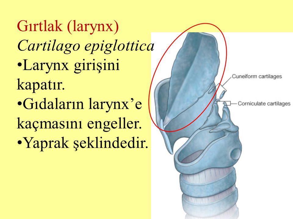 Gırtlak (larynx) Cartilago epiglottica Larynx girişini kapatır. Gıdaların larynx'e kaçmasını engeller. Yaprak şeklindedir.