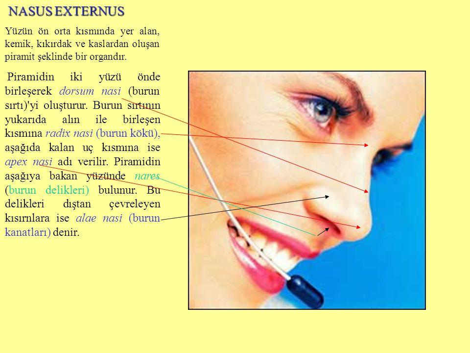 NASUS EXTERNUS NASUS EXTERNUS Yüzün ön orta kısmında yer alan, kemik, kıkırdak ve kaslardan oluşan piramit şeklinde bir organdır. Piramidin iki yüzü ö