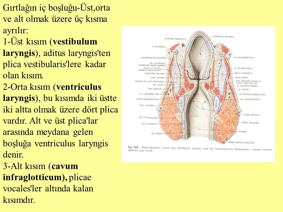 Gırtlağın iç boşluğu-Üst,orta ve alt olmak üzere üç kısma ayrılır: 1-Üst kısım (vestibulum laryngis), aditus laryngis'ten plica vestibularis'lere kada