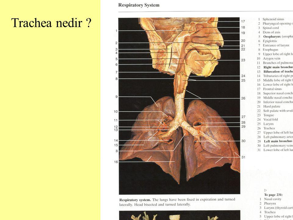 Trachea nedir ?