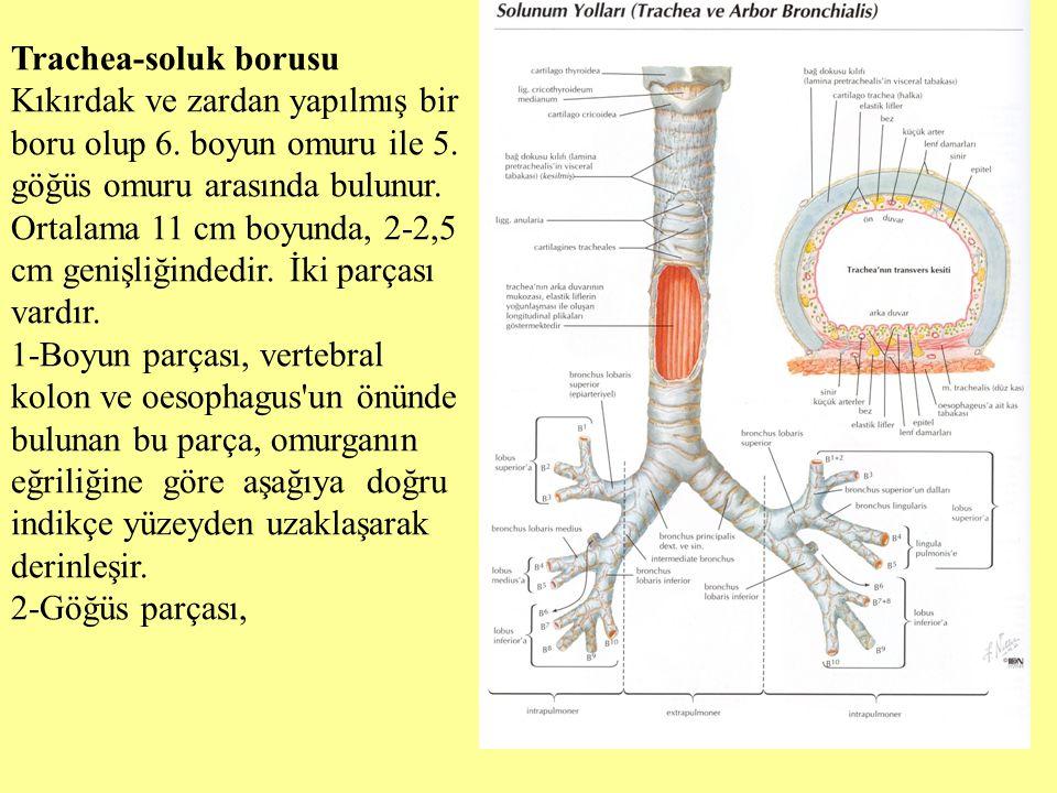 Trachea-soluk borusu Kıkırdak ve zardan yapılmış bir boru olup 6. boyun omuru ile 5. göğüs omuru arasında bulunur. Ortalama 11 cm boyunda, 2-2,5 cm ge