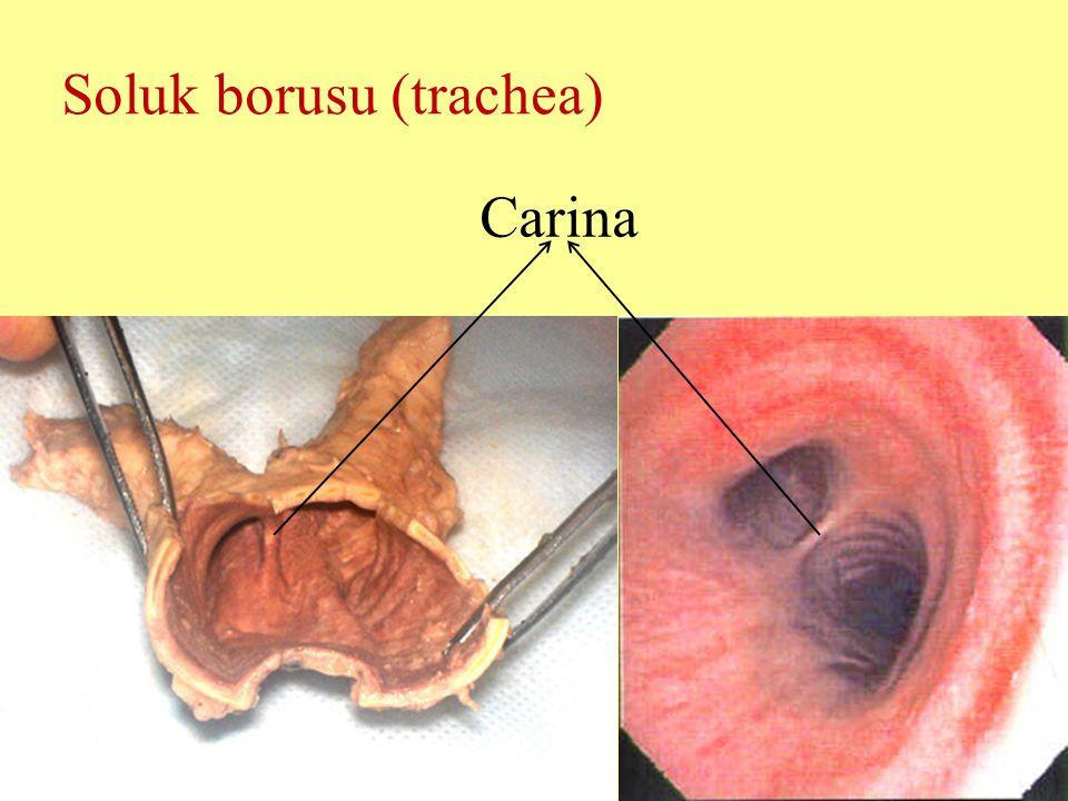 Soluk borusu (trachea) Carina