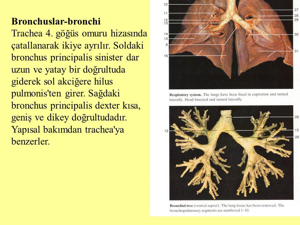 Bronchuslar-bronchi Trachea 4. göğüs omuru hizasında çatallanarak ikiye ayrılır. Soldaki bronchus principalis sinister dar uzun ve yatay bir doğrultud