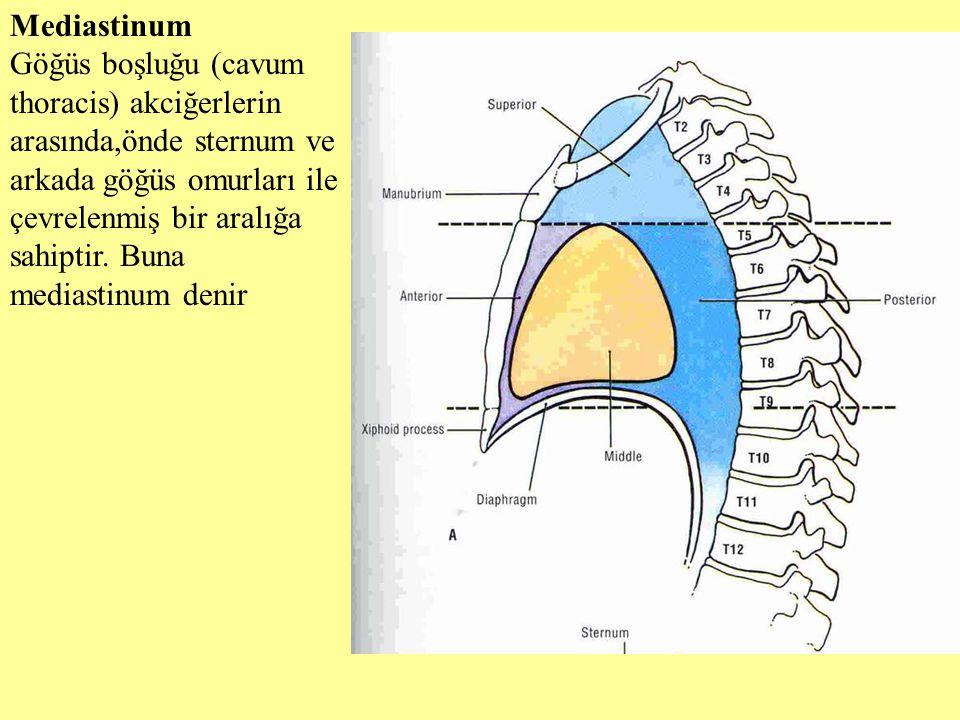 Mediastinum Göğüs boşluğu (cavum thoracis) akciğerlerin arasında,önde sternum ve arkada göğüs omurları ile çevrelenmiş bir aralığa sahiptir. Buna medi
