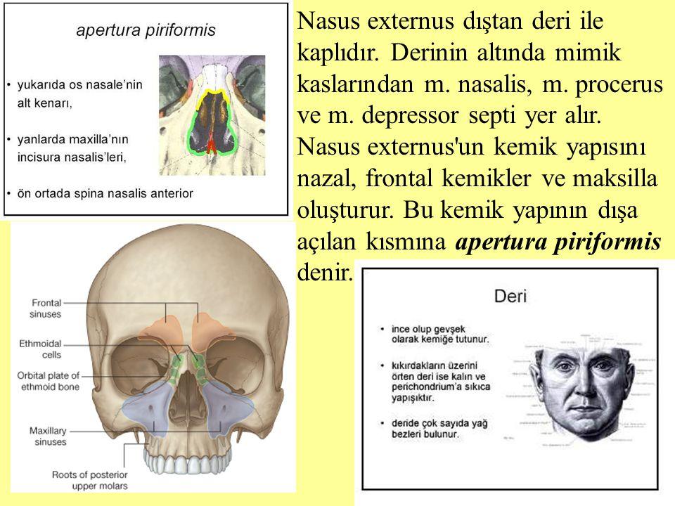 Nasus externus dıştan deri ile kaplıdır. Derinin altında mimik kaslarından m. nasalis, m. procerus ve m. depressor septi yer alır. Nasus externus'un k