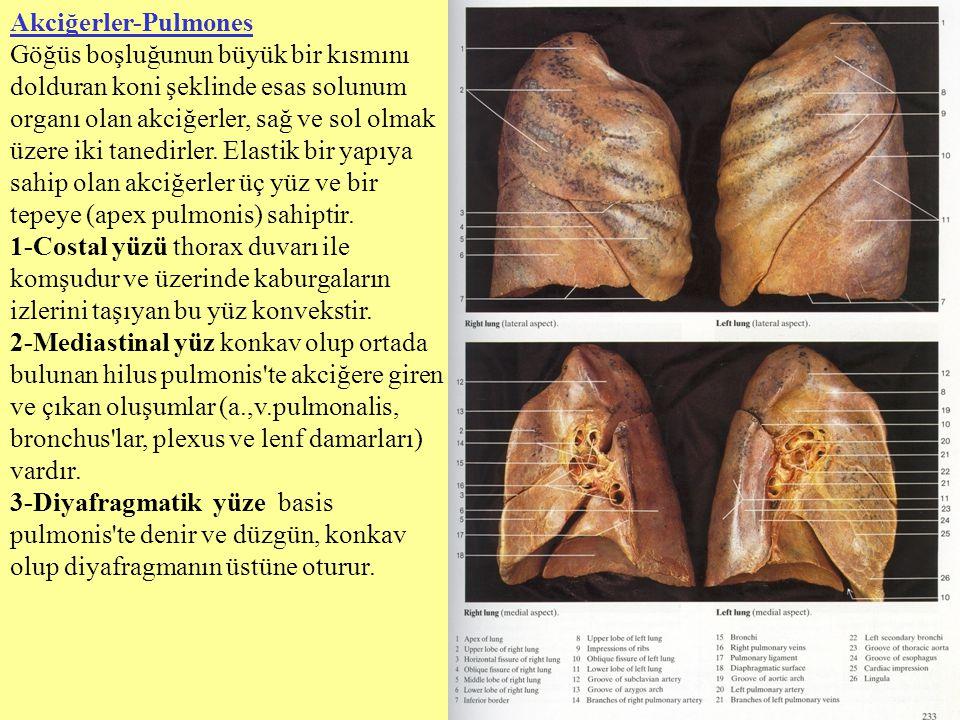 Akciğerler-Pulmones Göğüs boşluğunun büyük bir kısmını dolduran koni şeklinde esas solunum organı olan akciğerler, sağ ve sol olmak üzere iki tanedirl