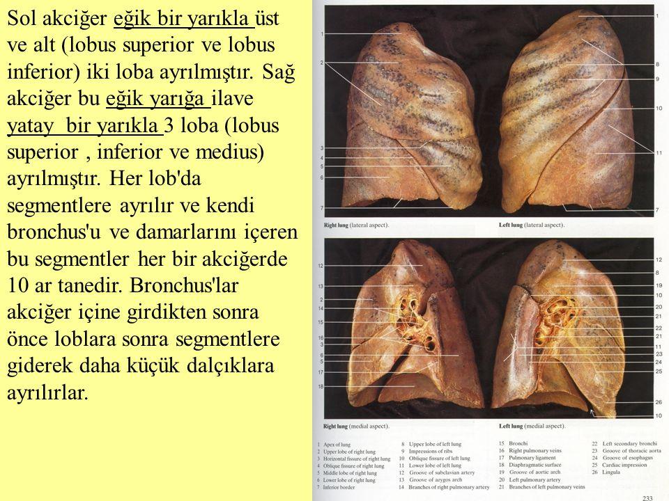 Sol akciğer eğik bir yarıkla üst ve alt (lobus superior ve lobus inferior) iki loba ayrılmıştır. Sağ akciğer bu eğik yarığa ilave yatay bir yarıkla 3