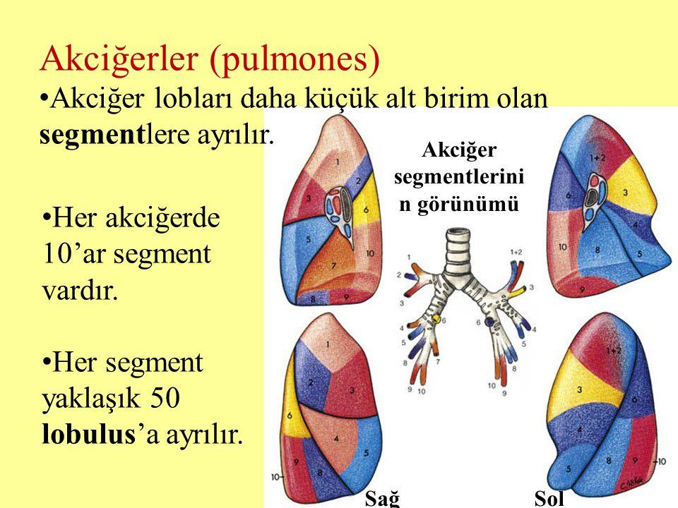 Akciğerler (pulmones) Akciğer lobları daha küçük alt birim olan segmentlere ayrılır. Her akciğerde 10'ar segment vardır. Her segment yaklaşık 50 lobul