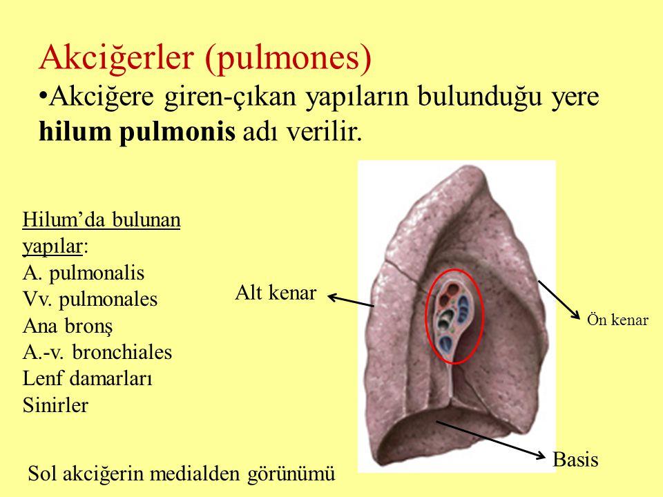 Akciğerler (pulmones) Akciğere giren-çıkan yapıların bulunduğu yere hilum pulmonis adı verilir. Basis Alt kenar Ön kenar Sol akciğerin medialden görün