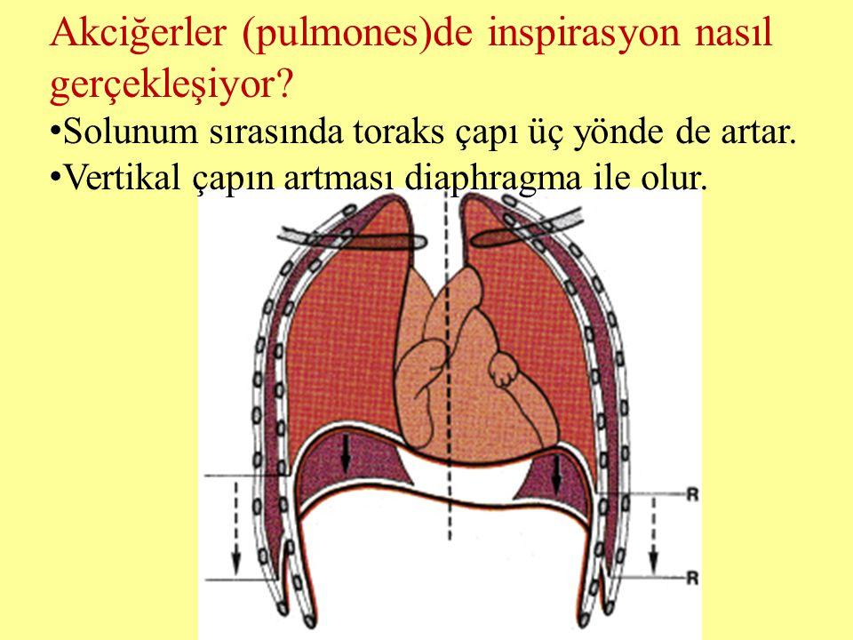 Akciğerler (pulmones)de inspirasyon nasıl gerçekleşiyor? Solunum sırasında toraks çapı üç yönde de artar. Vertikal çapın artması diaphragma ile olur.