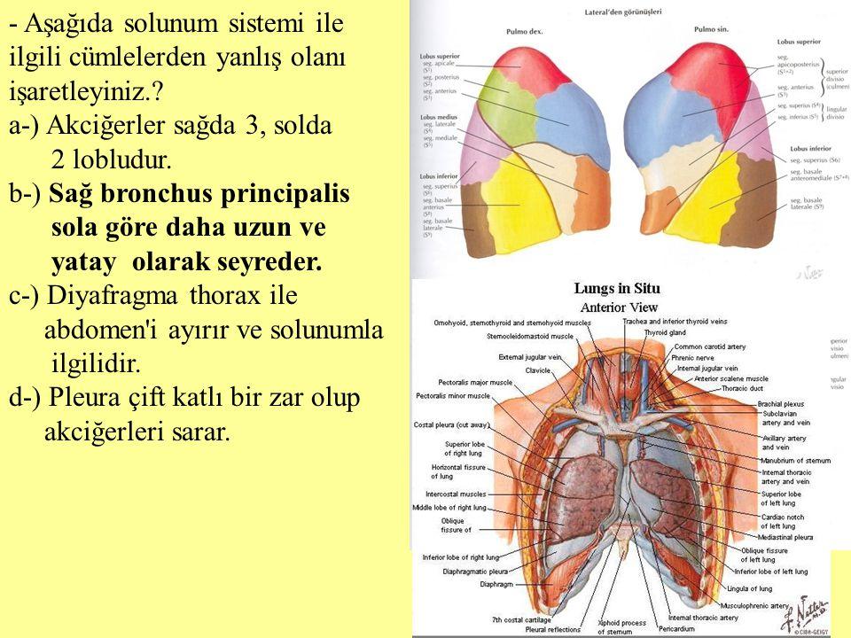 - Aşağıda solunum sistemi ile ilgili cümlelerden yanlış olanı işaretleyiniz.? a-) Akciğerler sağda 3, solda 2 lobludur. b-) Sağ bronchus principalis s