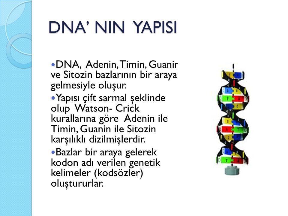 DNA' NIN YAPISI DNA, Adenin, Timin, Guanin ve Sitozin bazlarının bir araya gelmesiyle oluşur. Yapısı çift sarmal şeklinde olup Watson- Crick kuralları
