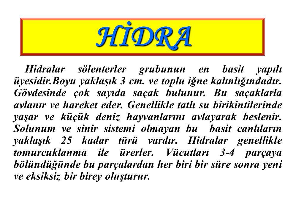 HİDRA Hidralar sölenterler grubunun en basit yapılı üyesidir.Boyu yaklaşık 3 cm. ve toplu iğne kalınlığındadır. Gövdesinde çok sayıda saçak bulunur. B