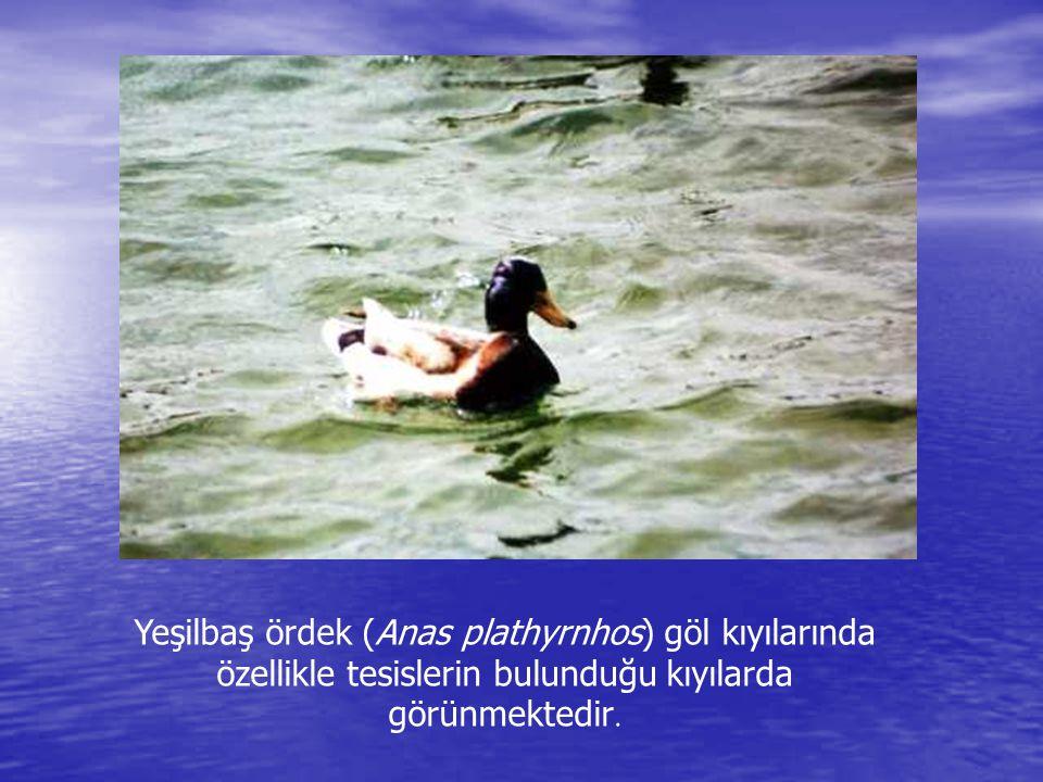 Şeritli semender (Triturus vittatus) Abant Gölü'nün kıyı kesiminde görülür.