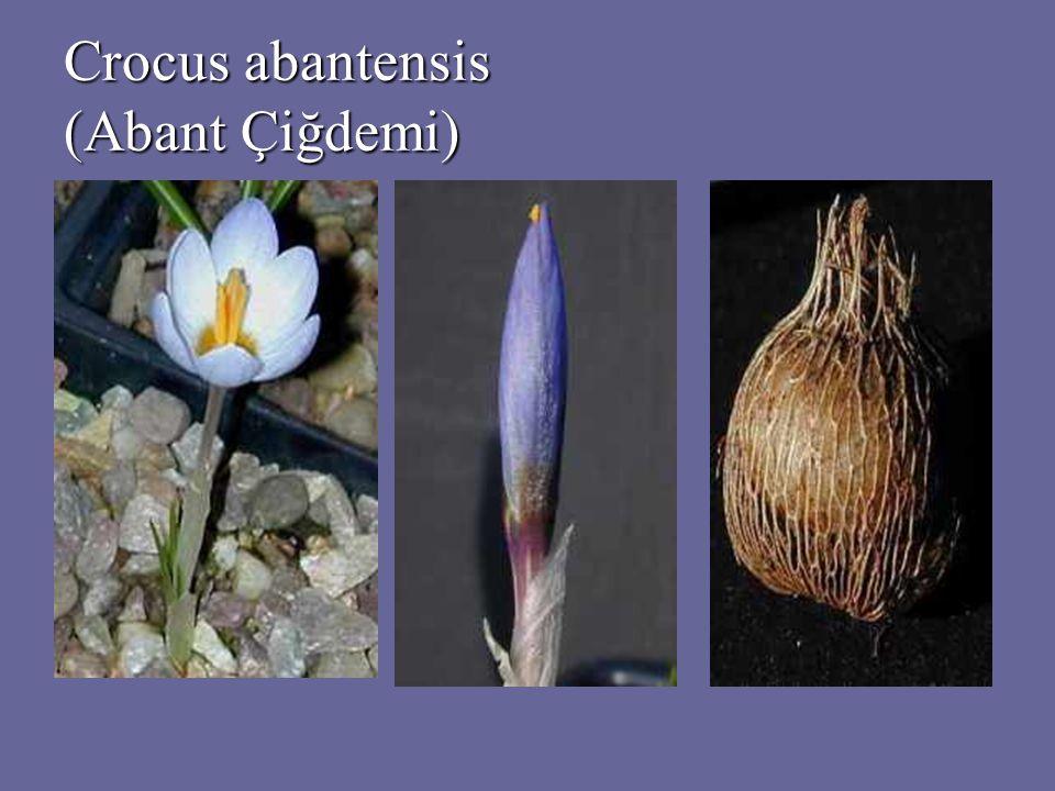 FLORA 664 bitki türü (Türker & Güner 2003) 664 bitki türü (Türker & Güner 2003) 150 den fazla Liken, 16 tür Türkiye için yeni kayıt (Çobanoğlu 1999) 150 den fazla Liken, 16 tür Türkiye için yeni kayıt (Çobanoğlu 1999) ASTARACEA (Papatyagiller) ASTARACEA (Papatyagiller) Circium boluense Circium boluense CAMPANULACEAE (Çançiçeğigiller) CAMPANULACEAE (Çançiçeğigiller) Jasoine supina sieber supsp.