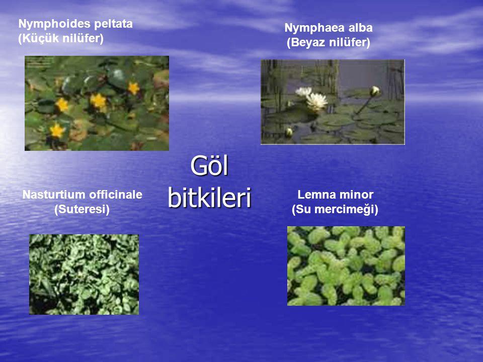 Galanthus plicatus subsp.byzantinus Bu kardelen türü Türkiye için endemiktir.
