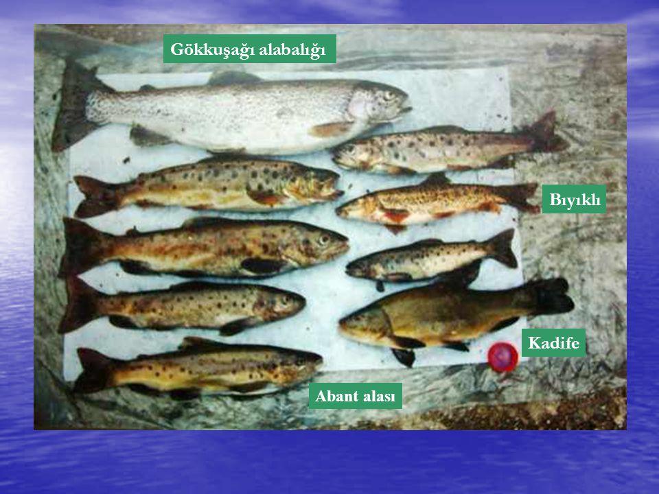 ABANT BALIKLARI Yukarıda görülen göle özgü bir balık olan Abant Göl Alabalığı (Salmo trutta abanticus Tontonese, 1954) dışında gölde tespit edilen diğer altı balık türü şunlardır: Oncorhynchus mykiss W.
