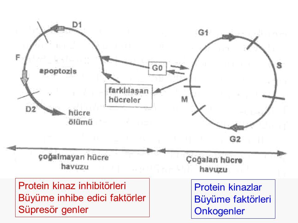 Protein kinazlar Büyüme faktörleri Onkogenler Protein kinaz inhibitörleri Büyüme inhibe edici faktörler Süpresör genler